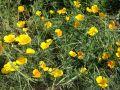 Pavot de Californie, Eschscholtzia californica
