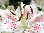 Croiser ses fleurs pour créer de nouveaux hybrides