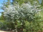 Gommier cidre, Gommier de Gunn, Eucalyptus gunnii