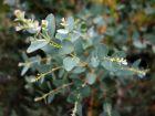 Gommier à petites feuilles,  Eucalyptus parvula