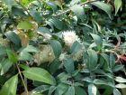 Myrte d'Australie, Cerisier des Antilles, Eugenia myrtifolia