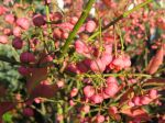 Fruits du Fusain de Hamilton, Euonymus hamiltonianus 'Indian Summer'