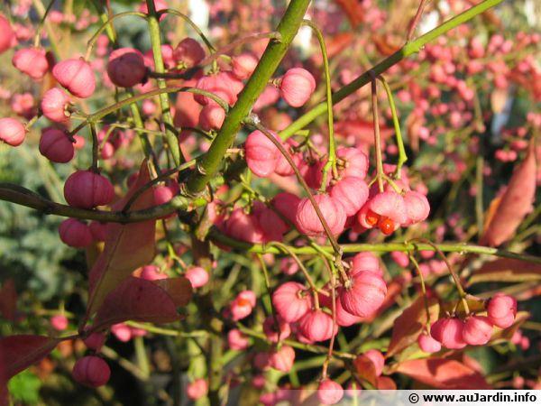 Fruits du Fusain de Hamilton, Euonymus hamiltonianus 'Indian Summer'