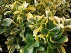 Fusain du Japon, Fusain vert, Euonymus japonicus