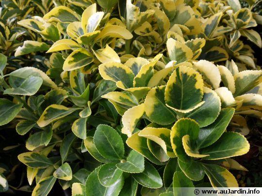 Fusain du japon fusain vert euonymus japonicus - Fusain du japon panache ...