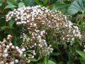 Eupatoire arbustive, Eupatoire à feuille de troène, Eupatorium ligustrinum