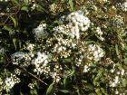 Eupatoire rugueuse, Eupatoire à feuilles molles, Eupatorium rugosum