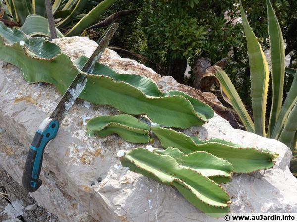 Préparation de boutures d'une euphorbe arborescente