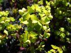 Euphorbe des bois pourpre, Euphorbia amygdaloides 'Purpurea' / 'Rubra'