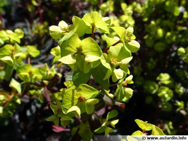 Euphorbe des bois pourpre, Euphorbia amygdaloides 'Purpurea' ou 'Rubra'