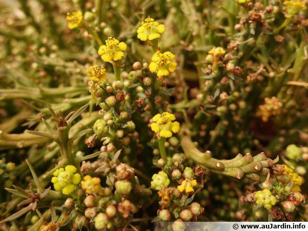 Plante Crayon Euphorbia Tirucalli Planter Cultiver Multiplier