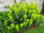 Euphorbe des garrigues, Euphorbia Characias