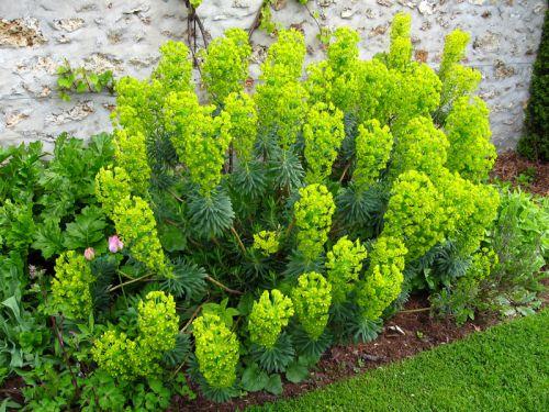 euphorbe des garrigues euphorbia characias planter cultiver. Black Bedroom Furniture Sets. Home Design Ideas