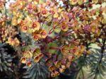 Euphorbe Black Bird, Euphorbia Black Bird 'Nothowlee'