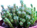 Euphorbe coussin, Euphorbia clavarioides