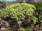 Euphorbe arborescente, Euphorbia dendroïdes