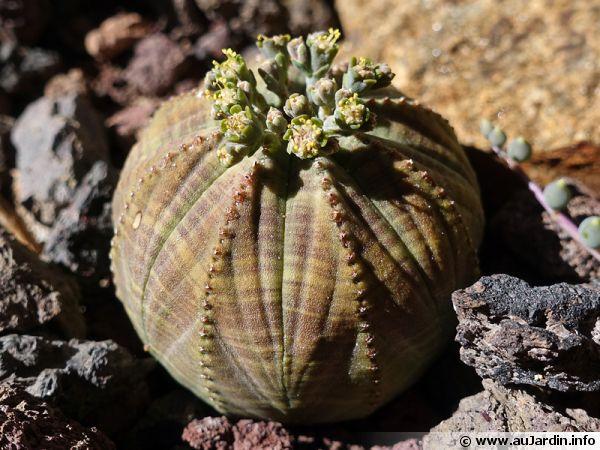 Euphorbe ob�se, Euphorbia obesa en fleurs