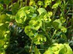 Inflorescence de l'euphorbe des bois de Robb, Euphorbia amygdaloïdes subsp robbiae