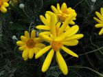 Marguerite des savanes, Euryops pectiné, Euryops d'or, Euryops pectinatus