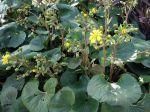 Plante panthère, Farfugium japonicum