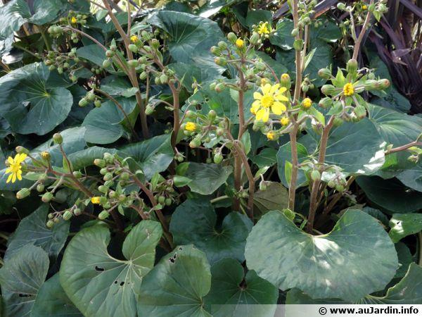 Plante panthère, Farfugium japonicum, Ligularia tussilaginea