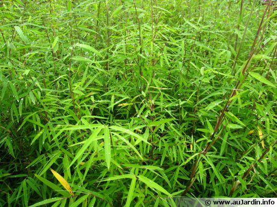 bambou fargesia angustissima. Black Bedroom Furniture Sets. Home Design Ideas