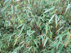 Bambou, Fargesia nitida