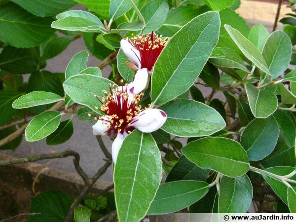 Fleurs du Feijoa sellowiana