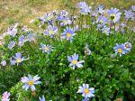 Pâquerette bleue, Aster bleu du cap, Marguerite du cap, Felicia amelloides