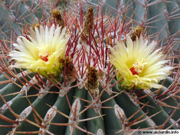 Ferocactus covillei est un cactus tonneau