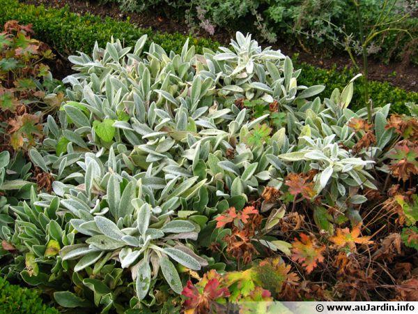 Un feuillage argenté dans un massif au jardin est du plus bel effet