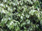 Figuier pleureur, Ficus benjamina