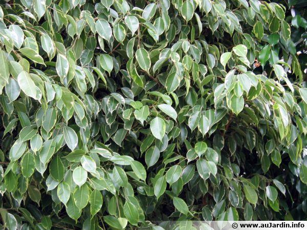 Figuier pleureur ficus benjamina conseils de culture for Petites plantes vertes