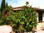 Caoutchouc, Ficus elastica