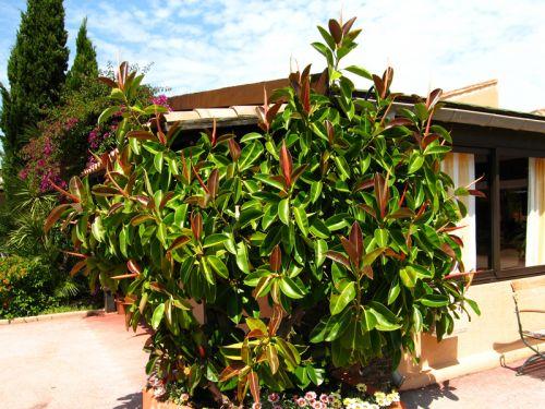caoutchouc ficus elastica planter cultiver multiplier. Black Bedroom Furniture Sets. Home Design Ideas