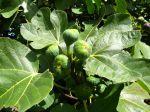 10 variétés de figuiers
