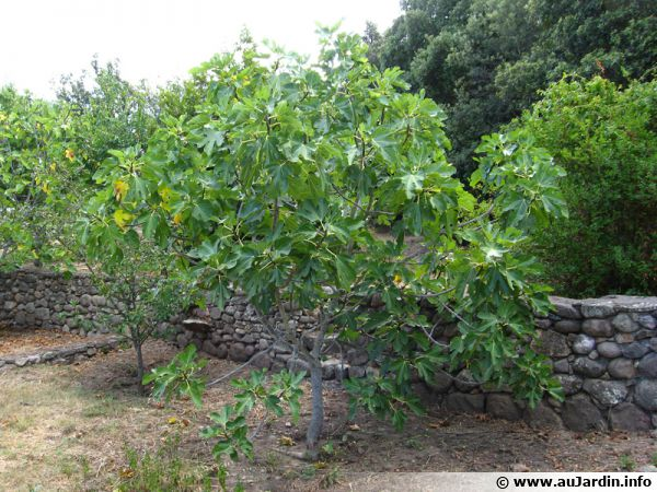 Le figuier, un arbre aux figues très appréciées