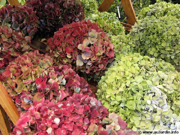 Fleurs d'hortensia séchées