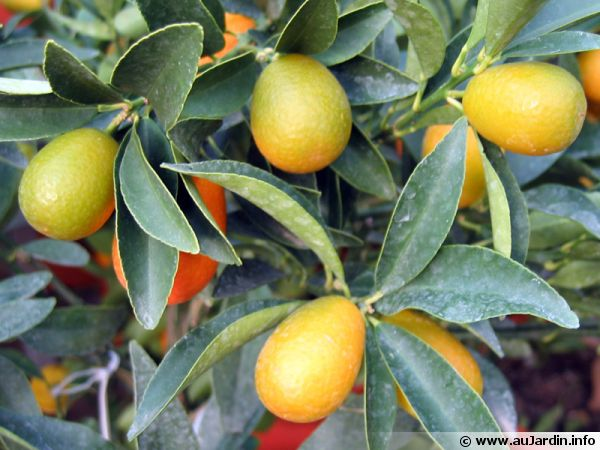 Kumquat 'Margarita' appelé aussi Kumquat de Nagami