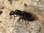 L'essaimage des fourmis