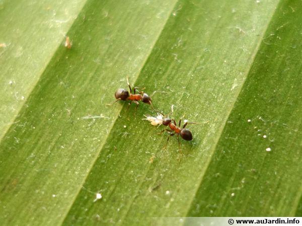 Des fourmis s'affairant autour de quelques cochenilles