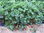 Les meilleures variétés de fraisiers