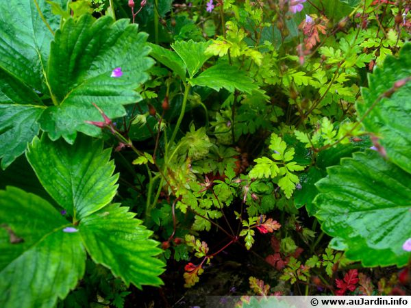 Des fraises sous le couvert d'un géranium
