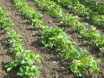 Maladies et parasites des fraisiers