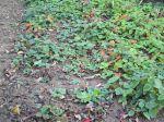 Repiquer les stolons de fraisiers
