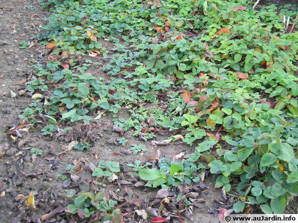 On distingue bien les stlons qui se développent entre les rangs de fraisiers