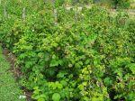 Framboisier framboise planter cultiver r colter - Ou planter un framboisier ...