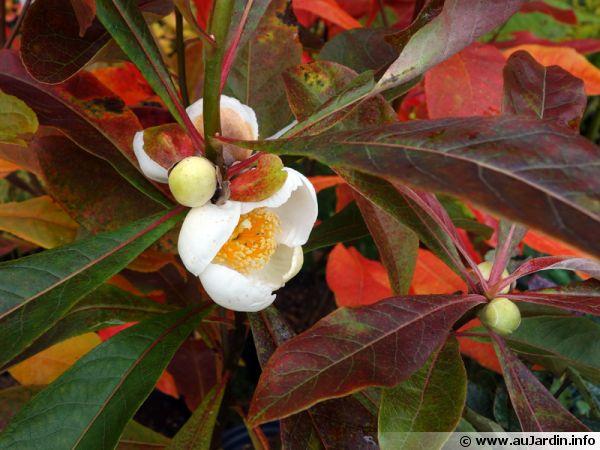 Fleurs de l'Arbre de Franklin, Franklinia alatamaha