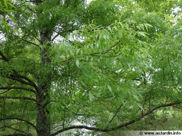 Frêne à feuilles étroites, Frêne bordeaux, Frêne du midi, Fraxinus angustifolia 'Raywood'