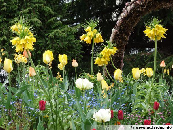 Fritillaires impériales dans un massif de printemps